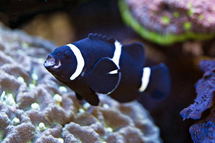Blue Clownfish Blue Clown Fish Clownfishes Black And White Clownfish Amphiprion Clown Fish Fresh Water Fish Tank Saltwater Tank