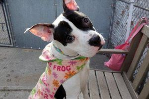 ☠ on NYC AC&C KILL LIST ☠ ☠ RISA WEINSTOCK NEEDS TO MAKE HER DEAD DOG QUOTA FOR 2016 ☠ WIPE THAT SMILE OFF HER FACE AND SAVE THESE DOGS My name is OLYMPIA. My Animal ID # is A1100164. I am a female white and black am pit bull ter mix. The shelter thinks I am about 1 YEAR I came in the shelter as a STRAY on 12/20/2016 from NY 10026, owner surrender reason stated was STRAY.