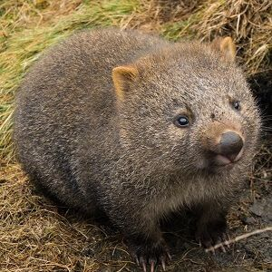 Interesting wombat facts for kids and adults. We provide information on wombats, the habitat they occupy, how they live, and what makes them so unusual.