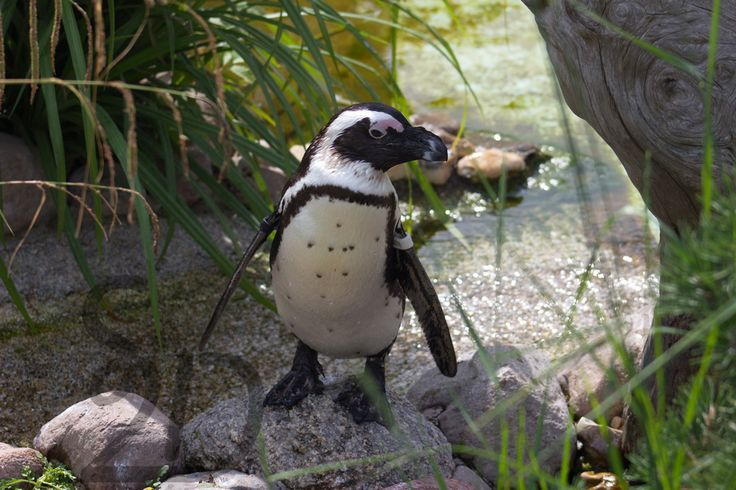 Brillenpinguin #africanpenguin - style-2day