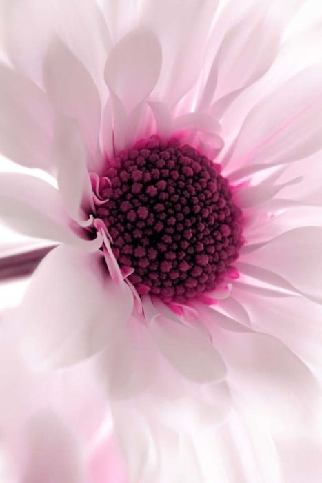 color: Beautiful Flower, Pink Flower, White Flower, Macro Photography, Soft Pink, Colors, Pink Daisies, Flower Power, Purple Flower
