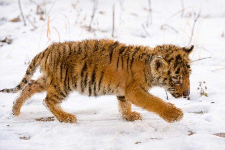 61 best images about orange tiger cubs on Pinterest