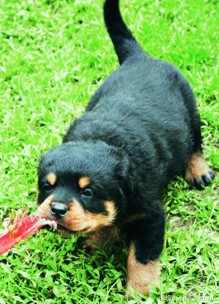 17 Best Images About Corgis Amp Rottweilers On Pinterest