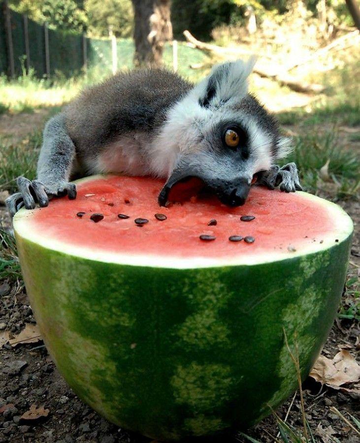 Just a lemur eating a watermelon.