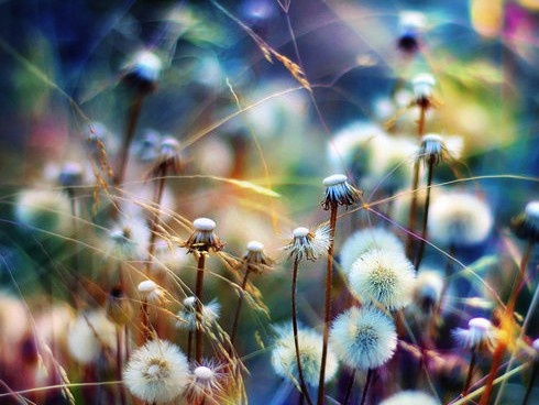.: Photos, Nature, Color, Art, Beautiful, Flowers, Dandelions, Photography