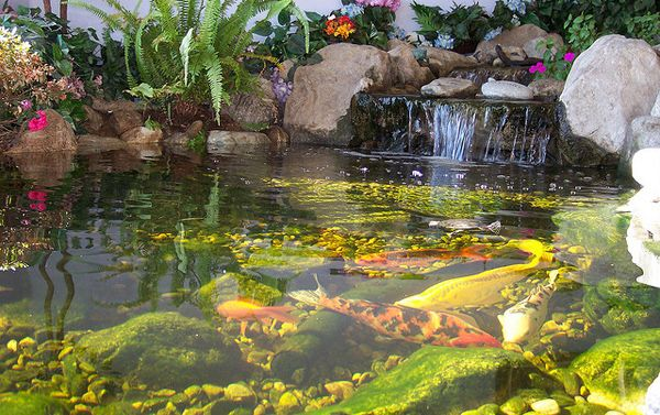 Butterfly koi the most beautiful fish in the world for Beautiful koi ponds