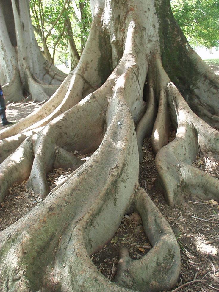 Near botanical gardens morton bay fig trees adelaide for Garden trees adelaide