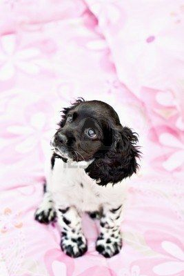 A nine week old parti colored purebred Cocker Spaniel puppy sitting on top of a little girls bed. Stock Photo