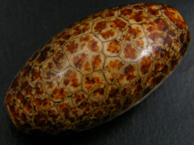 NATURAL PATTERNED PETRIFIED WOOD BEADS 73.0 CARATS AAT 576 petrified wood bead