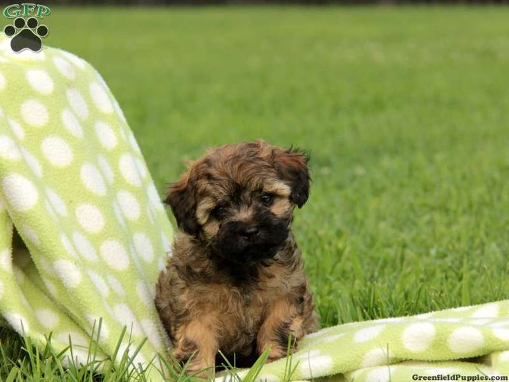 Puppies for Sale in Oregon - Puppies and Dogs for Sale