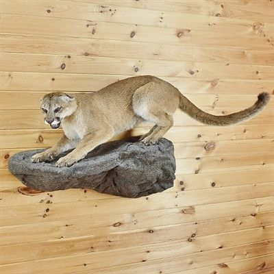 Mountain Lion Taxidermy For Sale - Cougar - SW2723