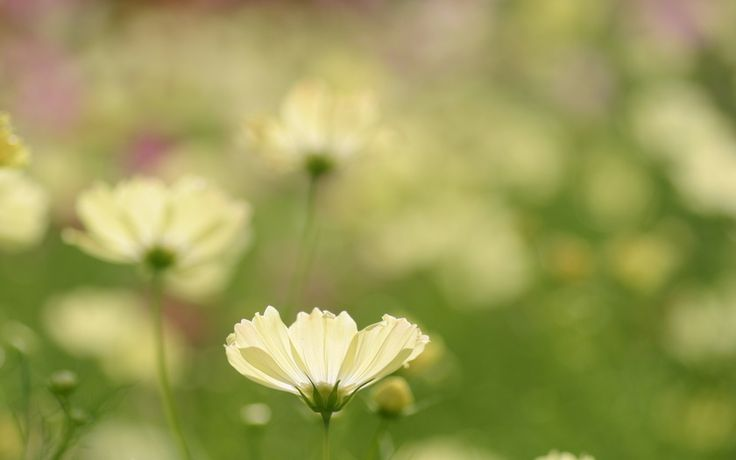зелень, поляна, полевой, природа, белый, цветок, лепестки, растения, макро…