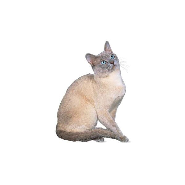 Tonkinese Cat Breed ❤ liked on Polyvore