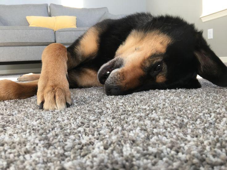 Lambo approves of the new plush carpet!