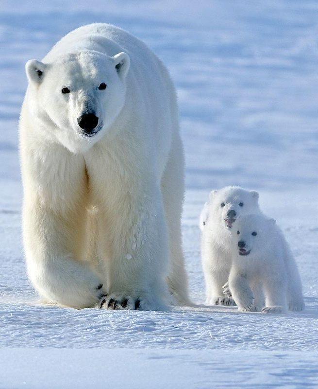 Momma Polar Bear and her two little cubs - Western Hudson Bay, Churchill, Canada