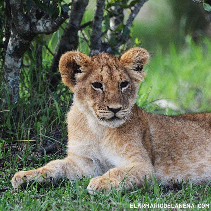 Lion cub (Masai Mara - Kenya)