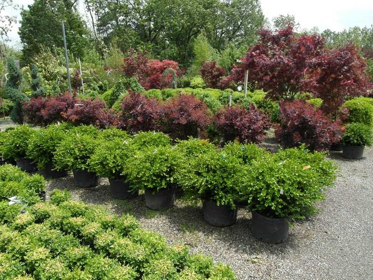 Boxwoods and purple bushes google search landscaping for Japanese garden bushes