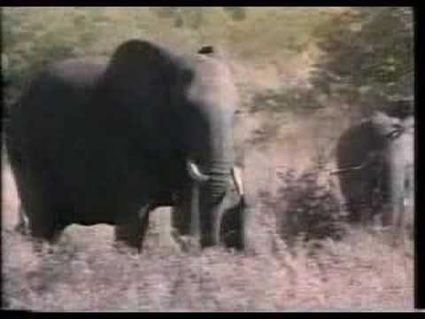 """Abbreviated clip of a 60 Minutes story """"The Delinquents"""" (3 minutes). Several young elephants are relocated to another park in South Africa after their parents were slaughtered due to overcrowding. These young elephants then grow up without the presence of any """"role models"""".  Without such guidance or adult supervision the young elephants end up ..."""