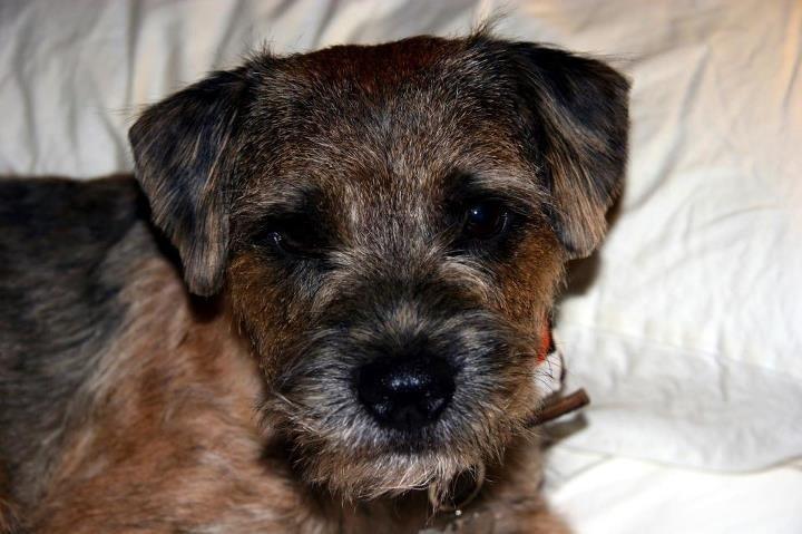 Pippen  - Border Terrier - best friend