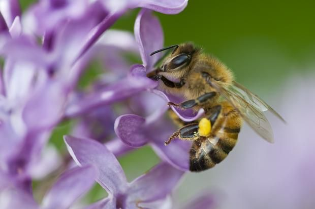 Garden chain bans pesticide to help bees..    Honey Bee with a pollen basket necturing on Lilac