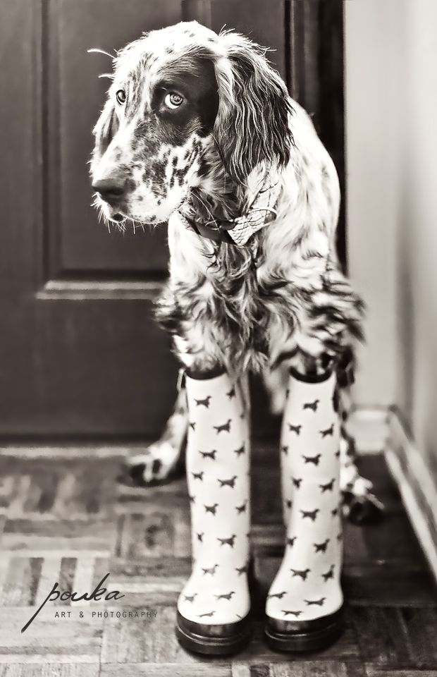 English Setter Puppy in rain boots. Wellingtons. Wellies. Puppy in Boots. Dog photography. www.pouka.com