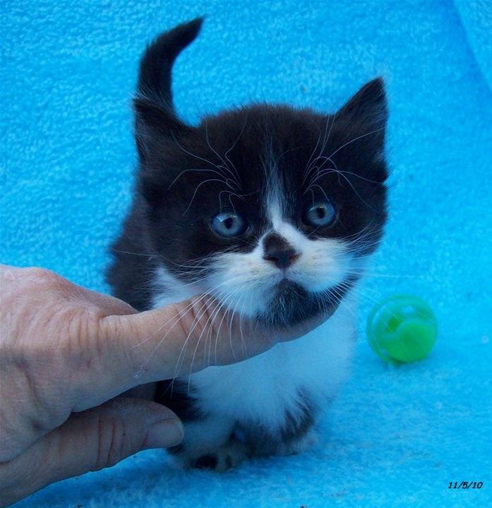 49 best Tuxedo Cats images on Pinterest | Cute kittens ...  |Tuxedo Munchkin Cat Kittens