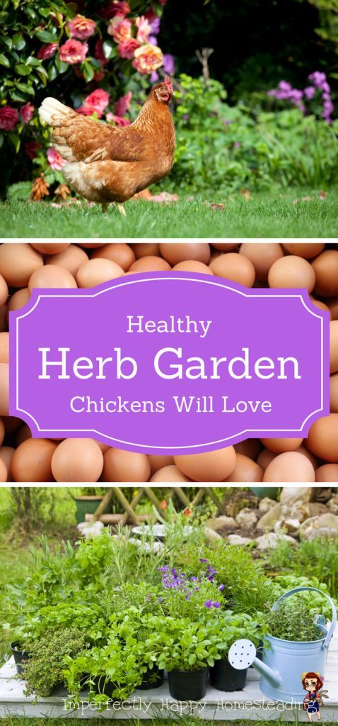 Healthy Herb Garden Chickens Will Love - the top 16 herbs for chickens!