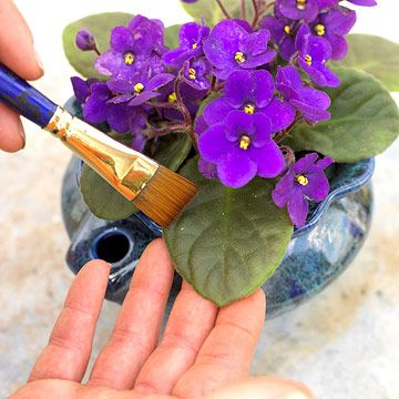 Cleaning African violet leaves
