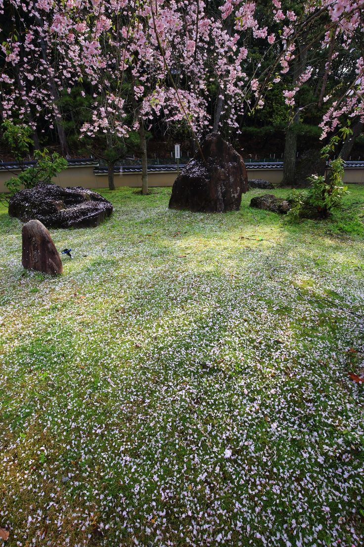 scattered cherry blossoms Myomanji-Temple in Kyoto,Japan