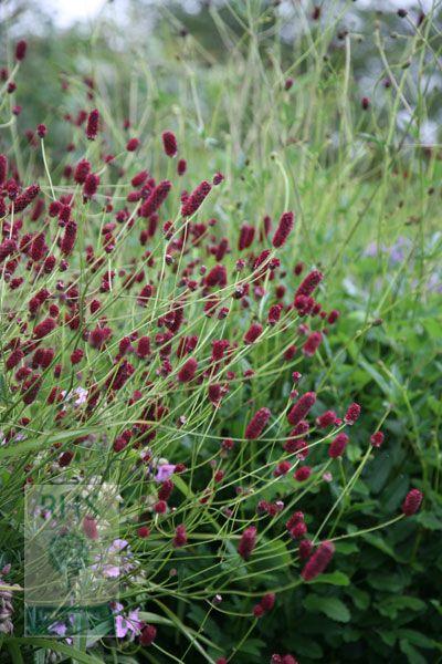 burnet Sanguisorba officinalis 'Red Thunder': wxh 0.6x1.2 June-Sept