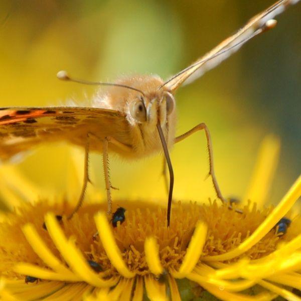Distelfalte Wird Der Russel Nicht Benutzt Wird Er Eingerollt Distelfalter Distel Schmetterling