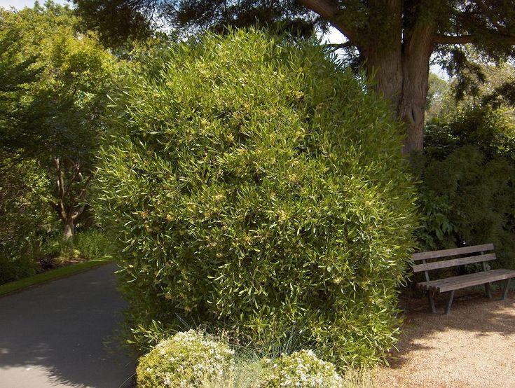 Green ake ake  - fast growing, wind tolerant
