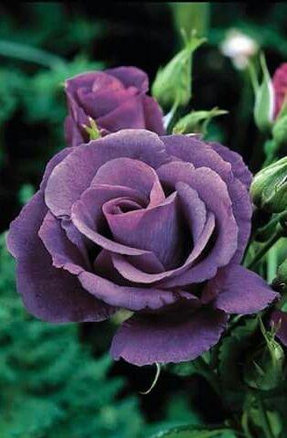 Beautiful Deep Purple Rose