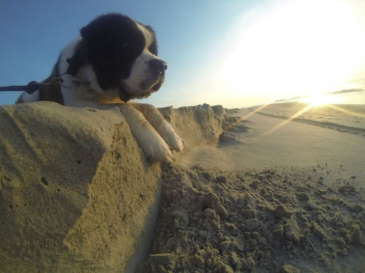 giant dog on a beach #dog #beach #sun #cliff #enormous