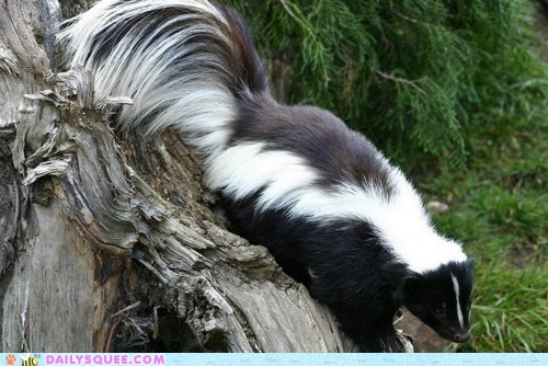 Fluffy Tail ...what a gorgeous wood pussie....Animal Shots, Baby Skunks, Fluffy Tail, Fluffy Skunks, Animal Totems, Skunks Mephiti, Stripes Skunks, Tail Skunks, Animal Wildlife