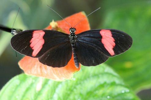 Des infos cachées dans le génome d'un papillon