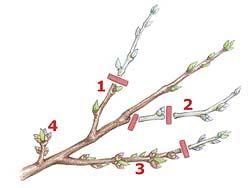 Pfirsichbaum Schnitt - vor der Blüte!