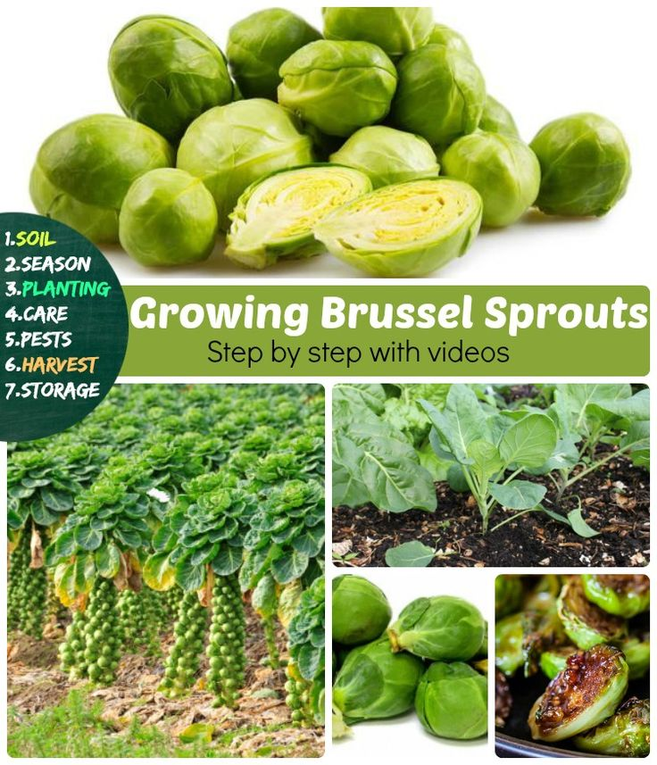 Nice Storing Brussel Sprouts Part - 12: Nice Storing Brussel Sprouts Great Ideas
