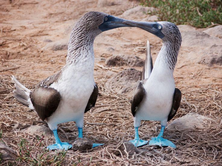 Fou à pâtes bleues - Galapagos