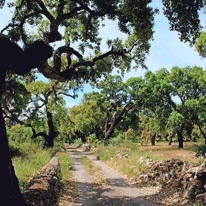 Portugal: Der Mann, der die alten Eichen küsst - via Mittelbayerische 29.10.2013   Mit José Galego unterwegs in den Wäldern im Hinterland der #Algarve – dort, wo an den Bäumen die Korken wachsen.