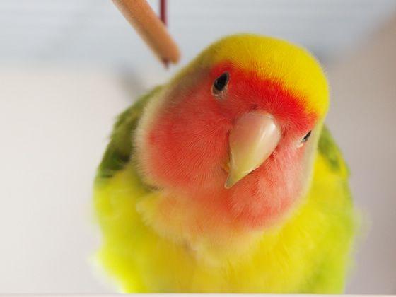 Rosy-faced Lovebird - Twitter