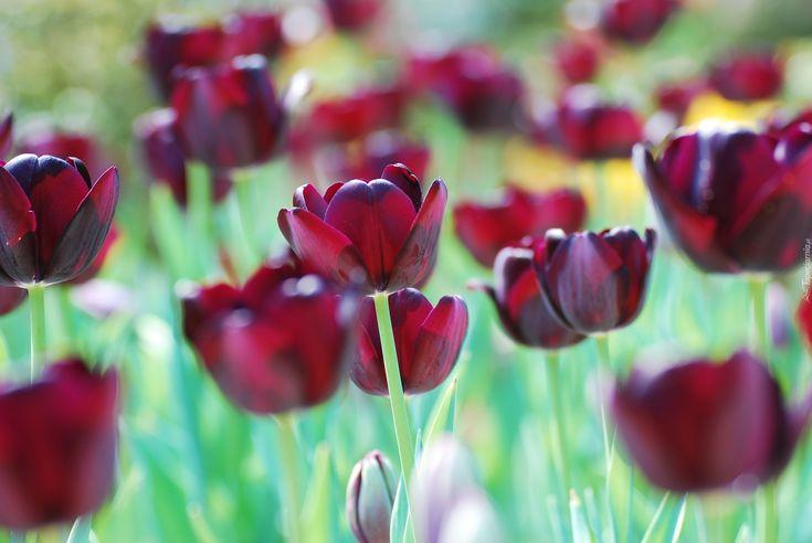 Ciemnoczerwone, Tulipany, Rozmycie