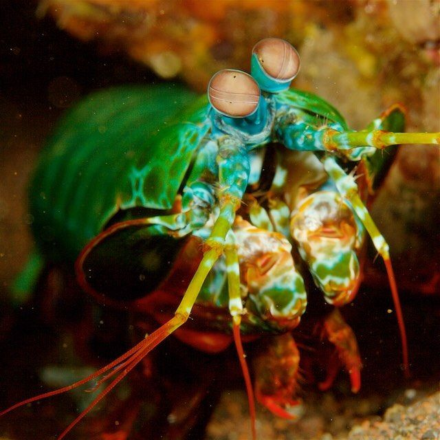 Photo by @TimLaman.  Alien of the deep, this is the Rainbow Smashing Mantis Shrimp, one of the world's most amazing crustaceans.  Compared to humans with three types of color sensing cones in our eyes, this mantis shrimp has 16 types of color sensors including ability to see UV light and polarized light.  It's impossible to imagine what the underwater world looks like to this animal.  Photographed off the north shore of #Bali, #Indonesia, #IndonesiaBiodiversity, #MantisShrimp.