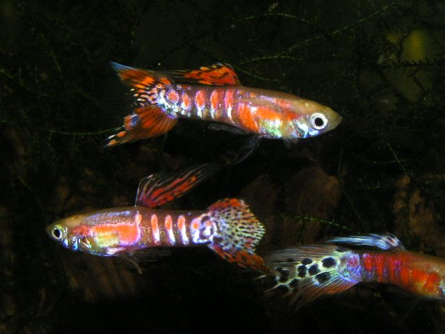 Ginga Rubra Swordtail Guppies