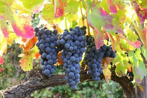 Il colore di questo vino è rosso rubino intenso che, col procedere dell'invecchiamento, tende ad assumere sfumature violacee ed arancioni. Il profumo è leggero ed aromatico e richiama sentori speziati, di frutti di bosco e anche tabacco. Al palato l'Aglianico si presenta con un sapore pieno, armonico e gradevole; l'invecchiamento del prodotto ne rende il sapore via via sempre più vellutato ed equilibrato. http://www.ilcapocollomartinese.it/shop/vino/44-aglianico.html
