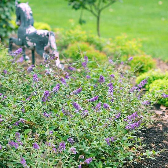 61 best images about hedge flowering on pinterest white for Tall flowering shrubs