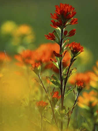 indian paintbrush grows near the cabin in Eastern Oregon...which is why I love it