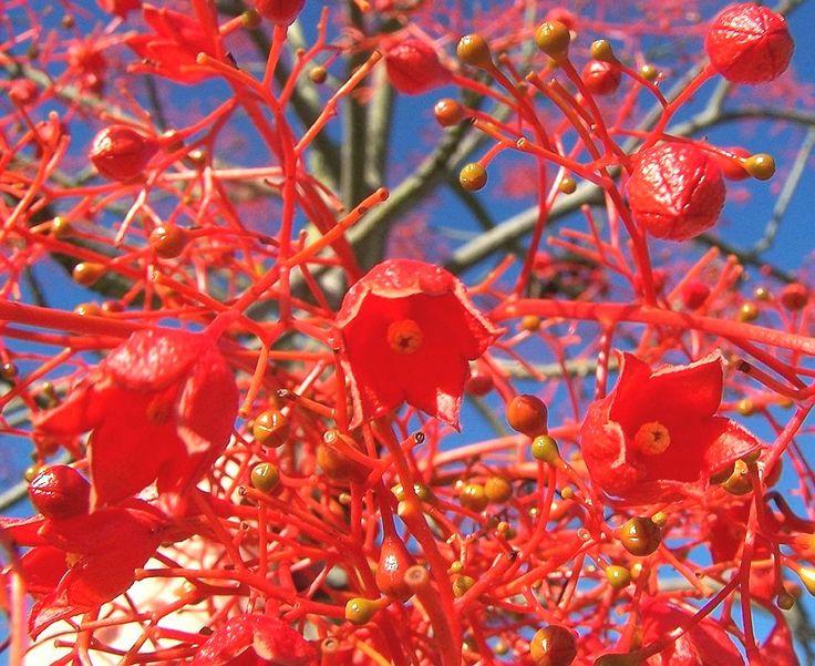 BRA aceBrachychiton acerifoliusFlame Tree100lt3-5M