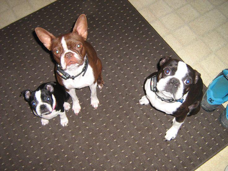 Harvey , Hannah and last pup waiting for a treat (2012)