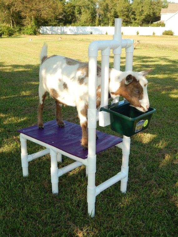 Goat Stand Grooming Stand Custom Color Nigerian Dwarf Goat Pygmy Sheep Handmade Handcrafted The Stand is lightweight BUT Heavy-duty 1&1/2 inch PVC Pipe (which has been cleaned of all its lettering and is all white) Weighs only 25 Pounds Holds up to 200 pounds (we have sat on it)